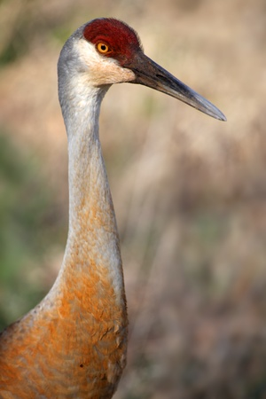 Close up shot of tall Sandhill crane bird