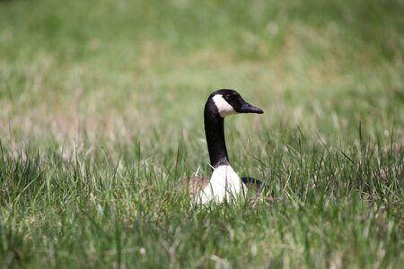 Single wild goose in the middle of meadow