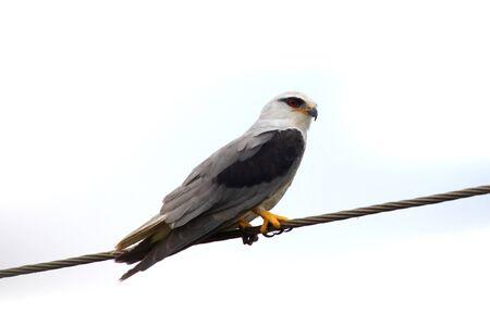 accipitridae: The Shikra Accipiter badius is a small bird of prey in the family Accipitridae Stock Photo