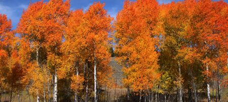 wyoming: Bright colored autumn trees at its peak