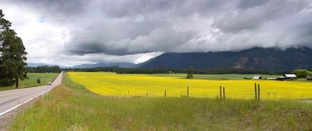 Campi di colza gialla in Montana, in una giornata nuvolosa