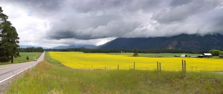 Yellow rapeseed fields in Montana on a cloudy day