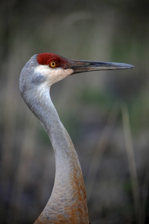 Sand hill crane close up shot photo