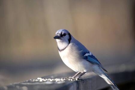 blue jay bird: Beautiful blue jay bird on the fence
