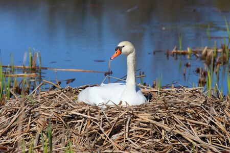 Beautiful swan on its nest in the lake photo