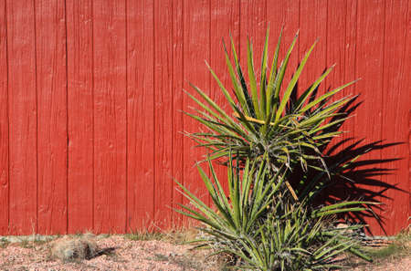 yucca: Yucca plant against red barn wall background Stock Photo
