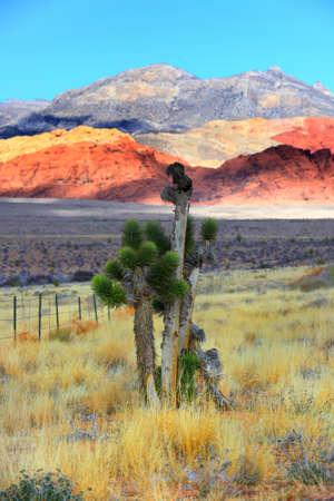 joshua: Joshua tree in red rock canyon national park