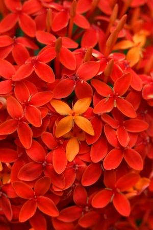 ashoka: Ixora red also known as Ashoka flowers, Popular flowers grows in Southern India