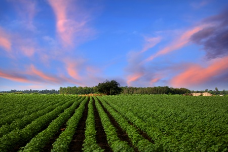 agriculture india: Farm lands in India with evening sky
