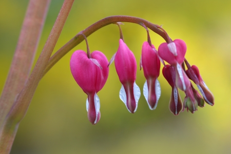 Bleeding heart flowers in the garden photo