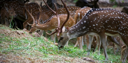 asia deer: Many spotted deers eating the grass