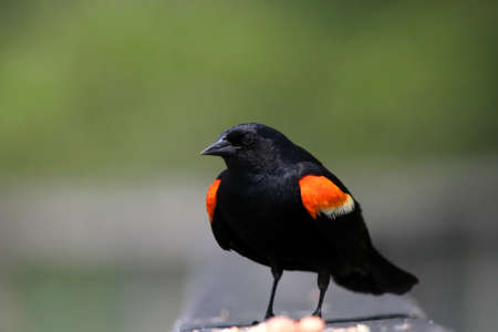 red winged: Close up shot of red winged black bird Stock Photo