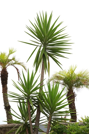 yucca: Yucca plants and palm trees against white background Stock Photo
