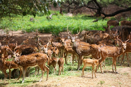 sanctuary: Many spotted deer in wild life sanctuary