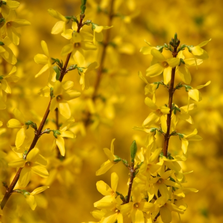 forsythia: Close up shot of Yellow spring flowers Stock Photo