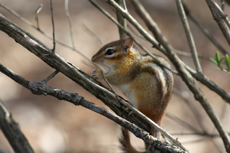 chipmunk: Small chipmunk hiding in the branches