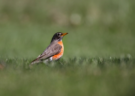 songster: Little Robin bird in the grass Stock Photo