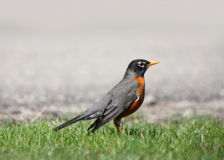 songster: Close up shot of Robin bird in the grass