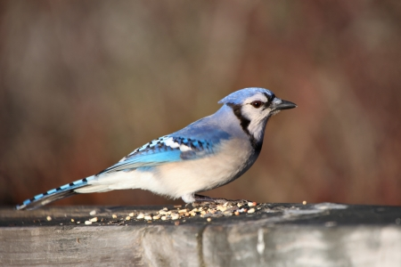 jay: Blue Jay with the bird feed on the fence Stock Photo