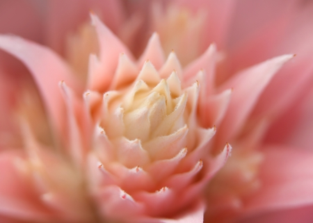 aechmea: Inside details of beautiful pink flower