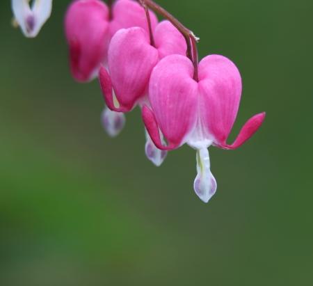 Bleeding heart flowers with depth of field