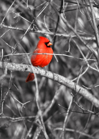 Northern cardinal bird on the branch photo