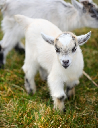 fidgety: portrait of a small baby goat