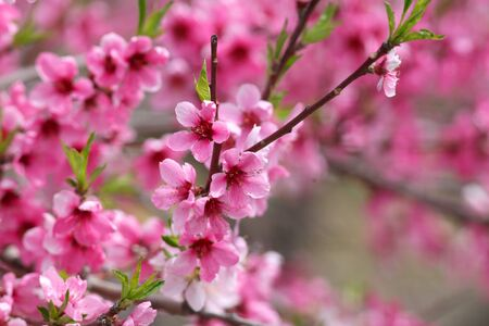Pink cherry blossom in spring time Stock Photo