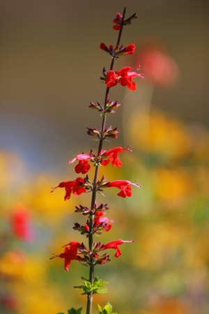 lobelia: Cardinal flowers