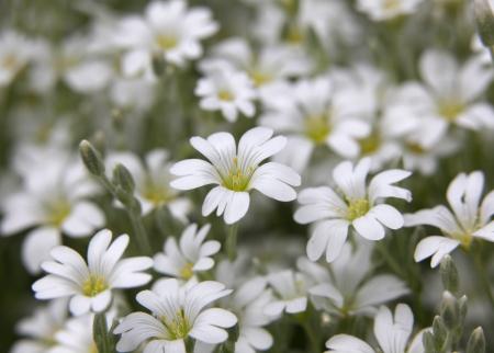 cerastium tomentosum: Snow in summer flowers