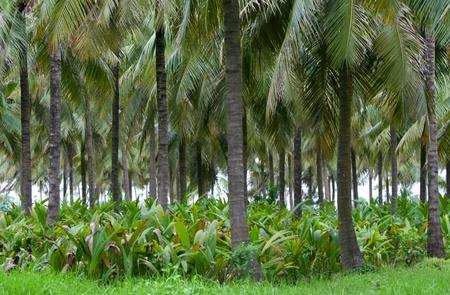 Coconut tree plantation in India
