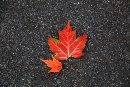 Two small maple leaves photo
