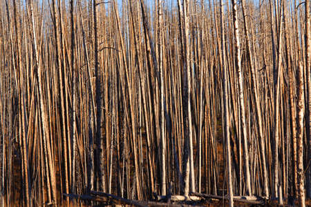 burnt wood: Tall burnt trees in Yellowstone national park
