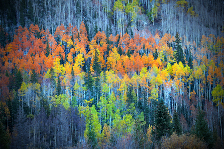 Colorful Aspen trees on the mountain top photo