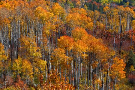 Tall colorful Aspen trees in autumn time photo