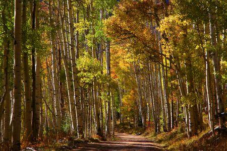 Drive through Aspen trees photo