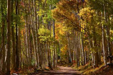 dirt road recreation: Drive through Aspen trees