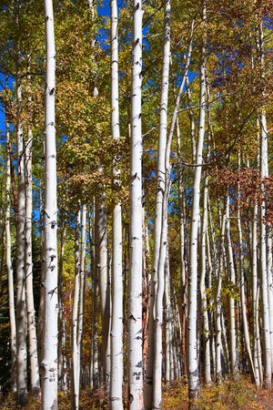 traveled: Tall Aspen trees in autumn time Stock Photo