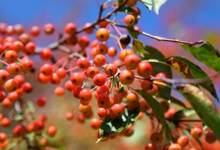 guelder rose: viburnum branch