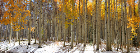 Panoramic view of Aspen trees in winter time