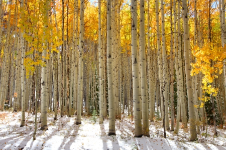 birch forest: Aspen trees in the snow in early winter time