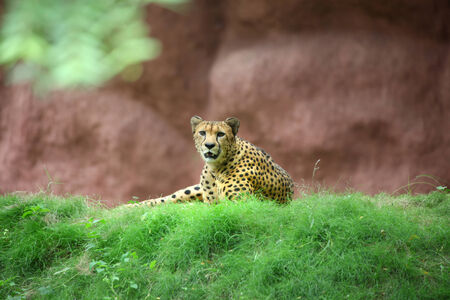 northern african: African cheetah on the lawn Stock Photo