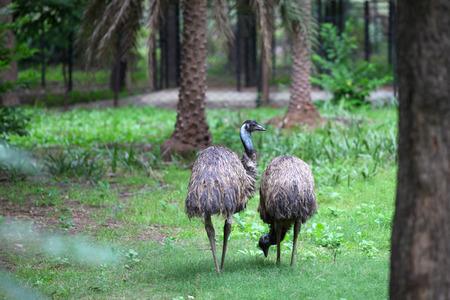 emu bird: Two flightless emu birds in the woods Stock Photo