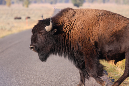 american bison: American bison crossing the road in Yellowstone Stock Photo