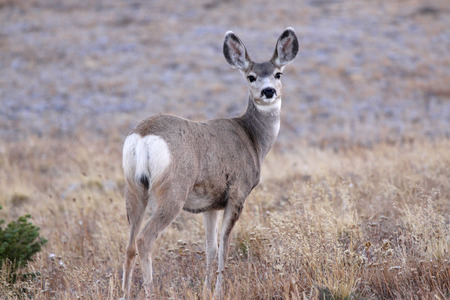 White tailed deer in the meadow photo