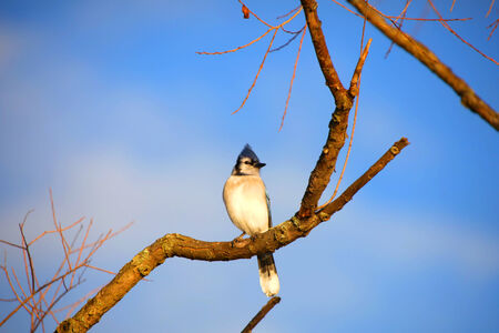 blue jay bird: Blue Jay bird on the branch of a tree Stock Photo