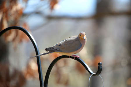 bird feeder: Morning dove on the bird feeder pole Stock Photo