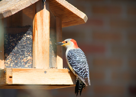 bird feeder: Red male woodpecker on bird feeder Stock Photo