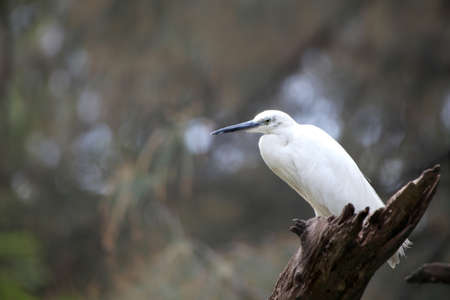 whooping: Indian little Egret bird on the branch
