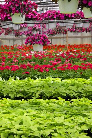 flowering plant: Flowering pots up for sale in Nursery Stock Photo